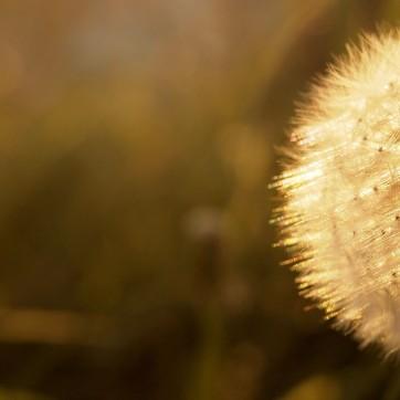 Summer Dandelion