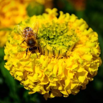 Bee on Petals